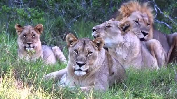 megállt a Lions