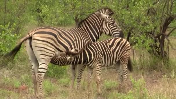 zebra, wildlife, animals in nature