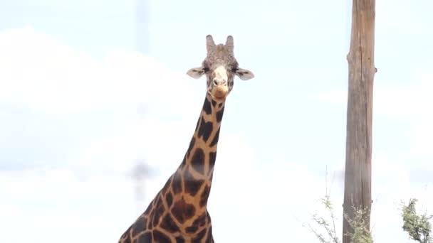 Divoká příroda, jedna žirafa