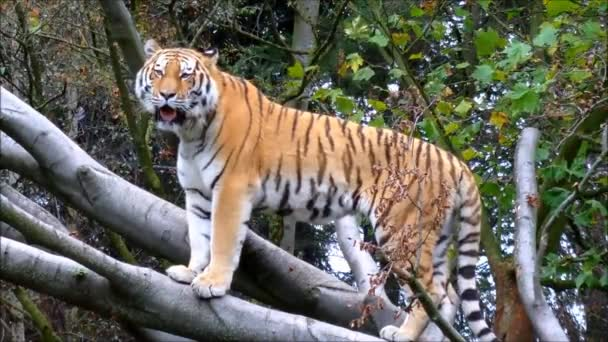 tiger in zoo, wild nature