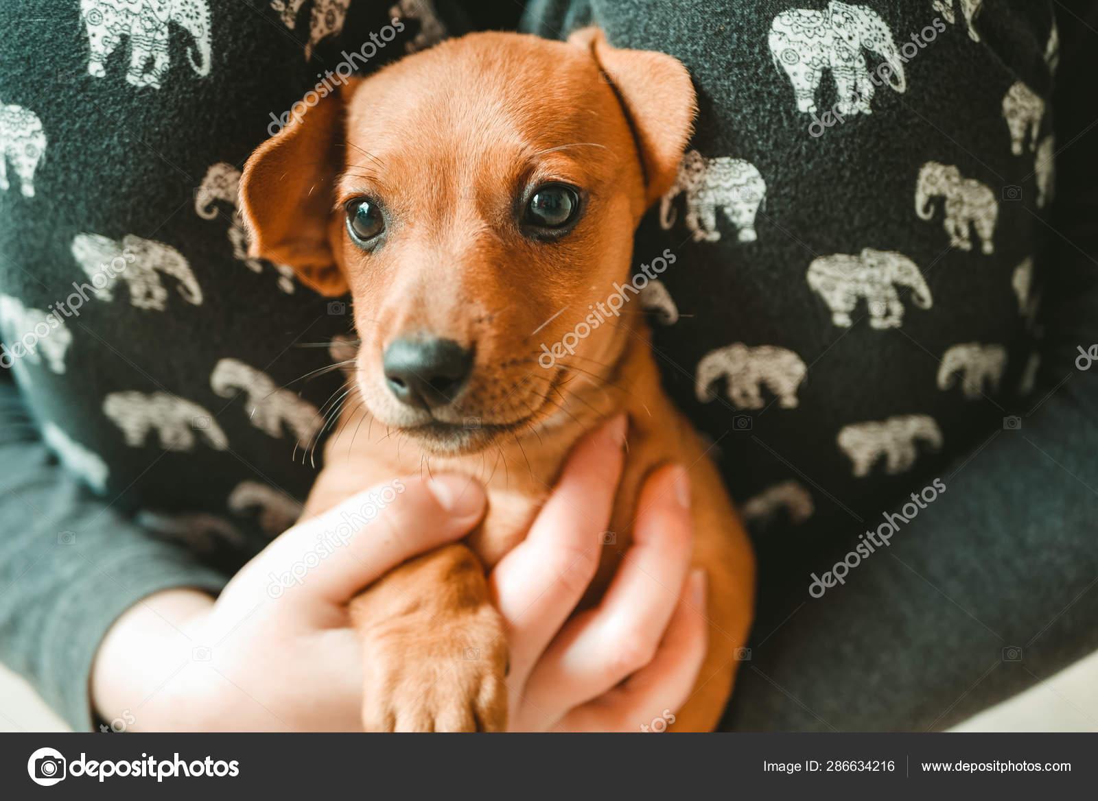 Cute Dachshund Puppy On Hand Stock Photo C Egor 1896 286634216