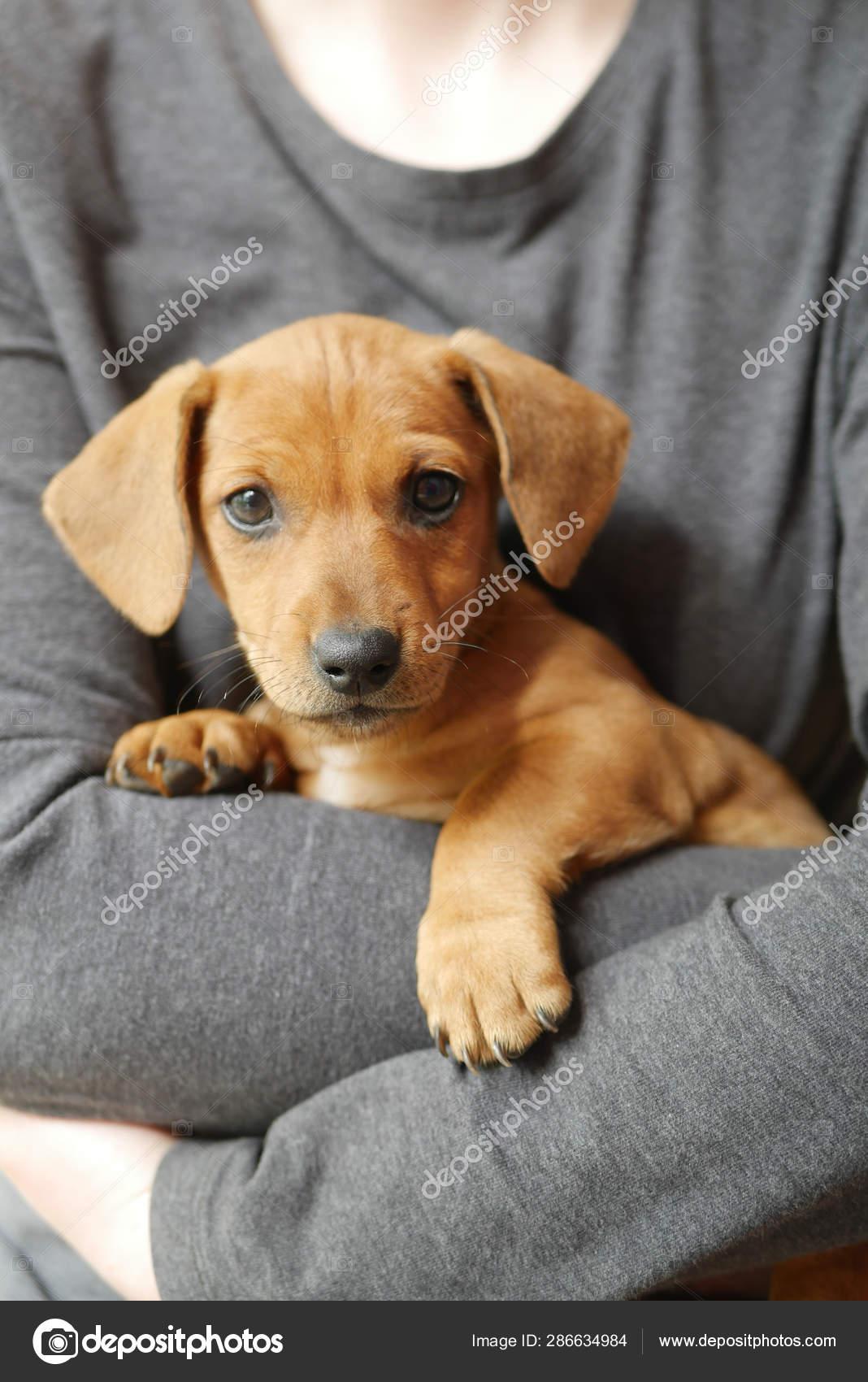 Cute Dachshund Puppy On Hand Stock Photo C Egor 1896 286634984