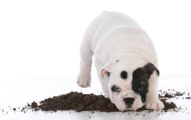 dirty dog digging in the dirt