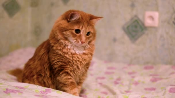 Egy gyönyörű aranyos bolyhos gyömbér macska játszik egy piros pont. A macska van játék-val egy lézer mutatópálca. A hazai macska az ágyban játsszák, piros ponttal. Szőrös kisállat Ultra HD 4k