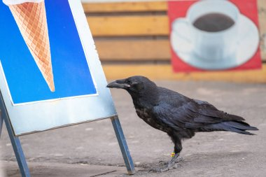 Black Raven Chick in the City
