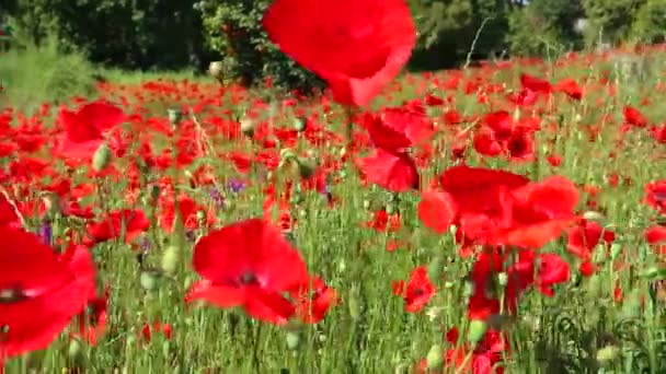 Large field overgrown with red poppies