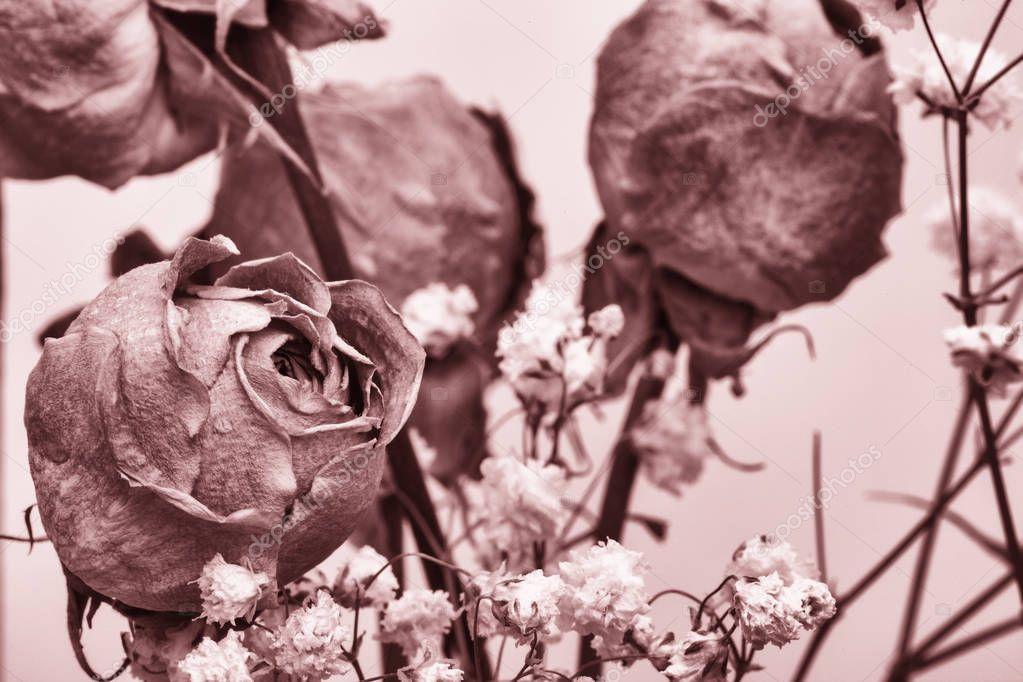Roses dried flowers Interior decoration Limited depth of field Tinted black and white image