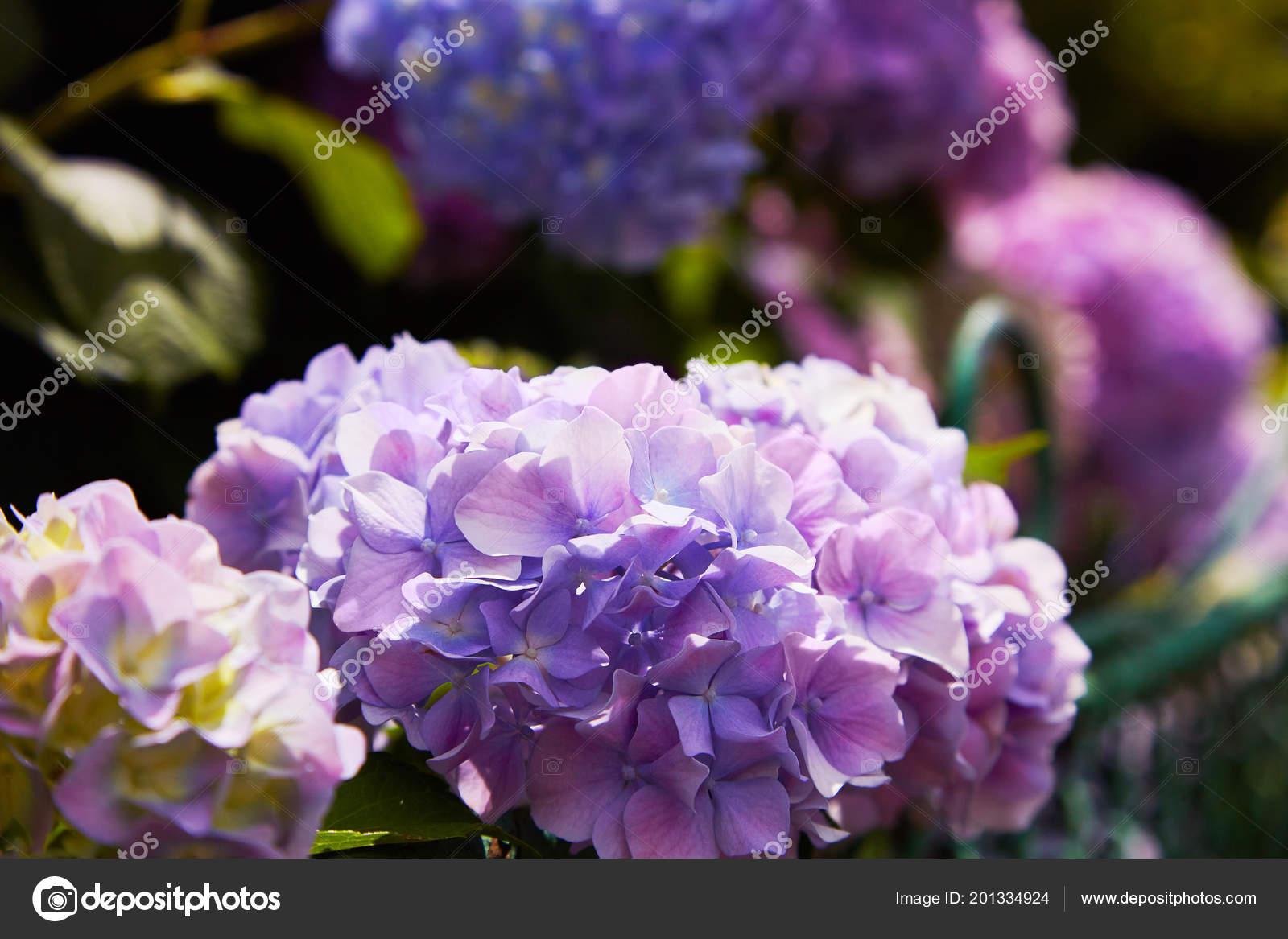 Pink Blue Lilac Violet Purple Hydrangea Flower Hydrangea Macrophylla