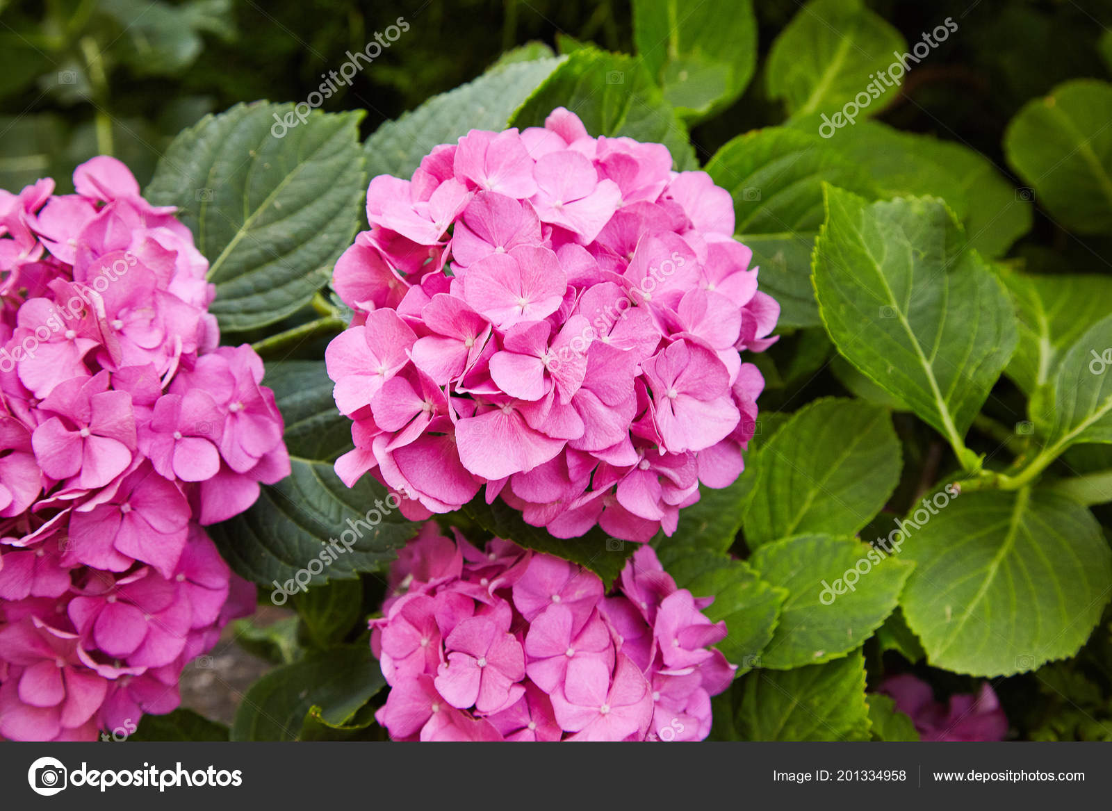 Pink Hydrangea Flower Hydrangea Macrophylla Blooming Spring Summer