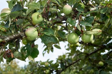 Apple tree with fruits growing in the garden