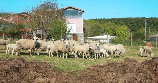 Hejno ovcí a jehňat v loukách a pojídáním trávy na venkově nebo ve vesnici.