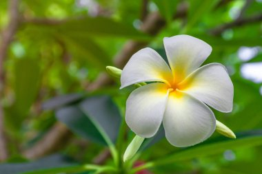 Plumeria flowers are white and yellow blooming on the trees in the afternoon.