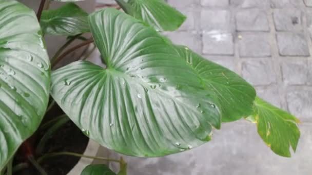 Water drops on green leaves plant, stock footage