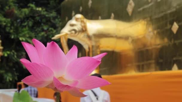 Gyönyörű rózsaszín lótuszvirág virágzik a templomban, stock footage
