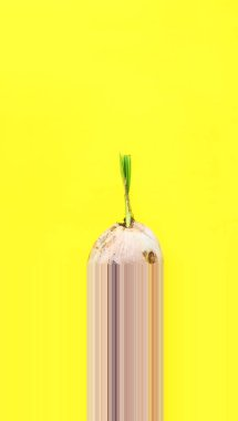 Sprouted brown coconut in stiff thick crust shell on Yellow Background Product domestic economic Thailand Natural food Modern design one pixel strips shift down