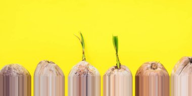 Row Sprouted brown coconut or Cocos nucifera L. nut in stiff thick crust shell on yellow background Seed palm trees Industrial production Natural food Modern design one pixel strips shift down