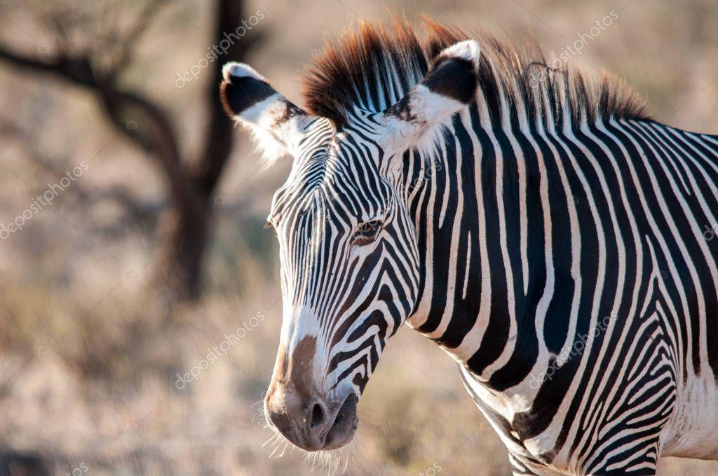 Grevy's Zebra, Equus grevyi, National Reserve, Kenya, Africa