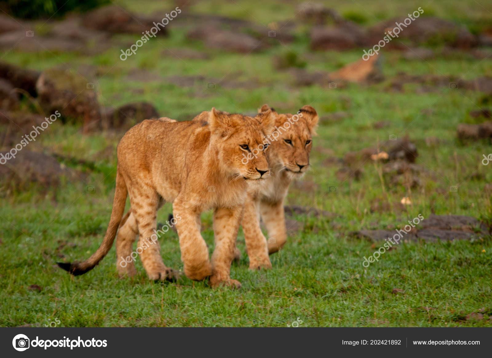 baby lions natural habitat wildlife kenya africa stock photo