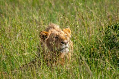 Lion in the grass Kenya Africa