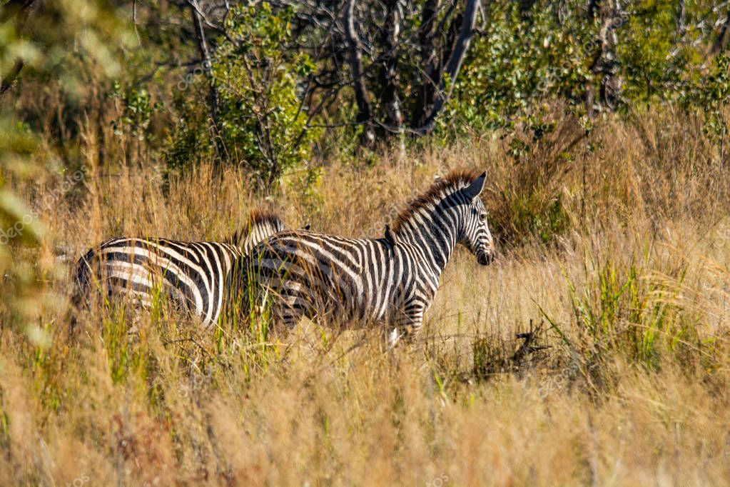 Wild zebras in the savannah of Namibia in South Africa