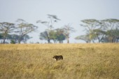 Photo Lioness hunting in East Africa