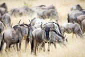 Fotografie Stádo divokých pakoně migrace ve východní Africe