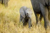 Cute baby elephant walking in Africa