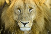 Fotografie Closeup portrait of wild African lion