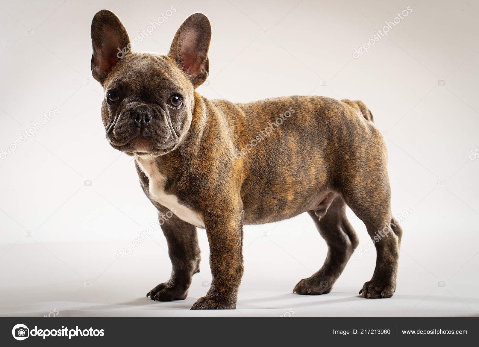 Small Brindle French Bulldog Puppy Portrait Stock Photo C Mph Photo 217213960
