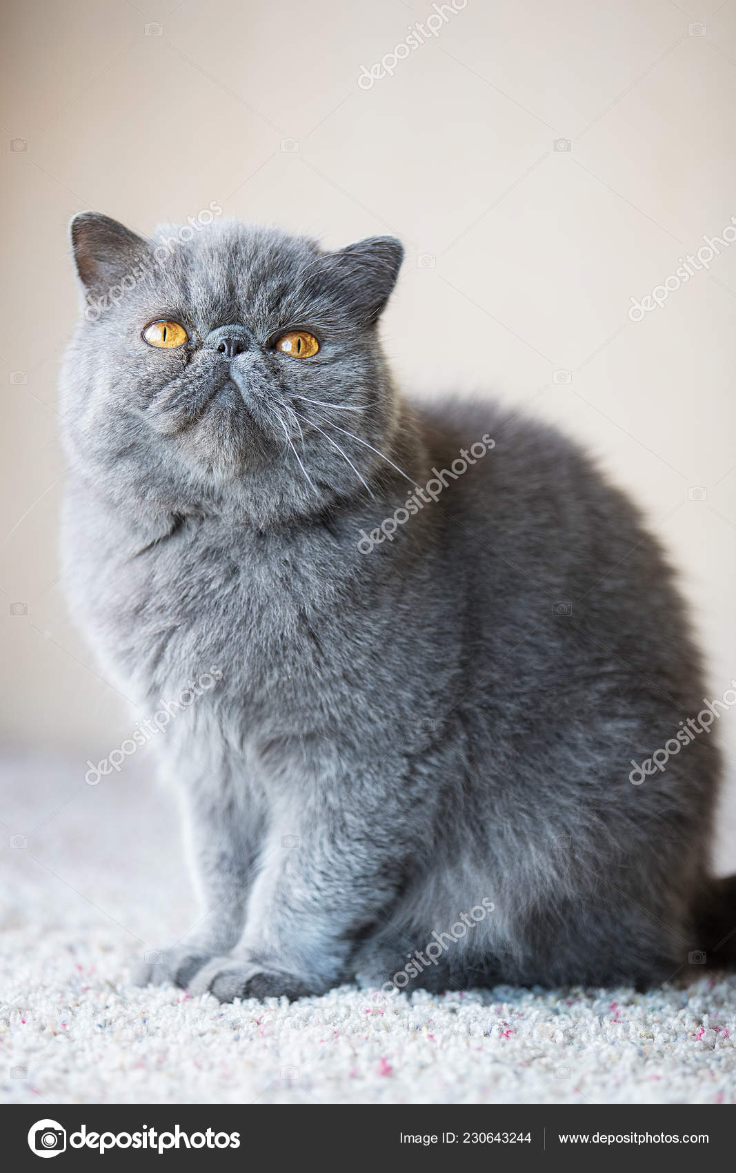 Short Haired Persian Grey Short Haired Persian Cat Stock Photo C Mph Photo 230643244
