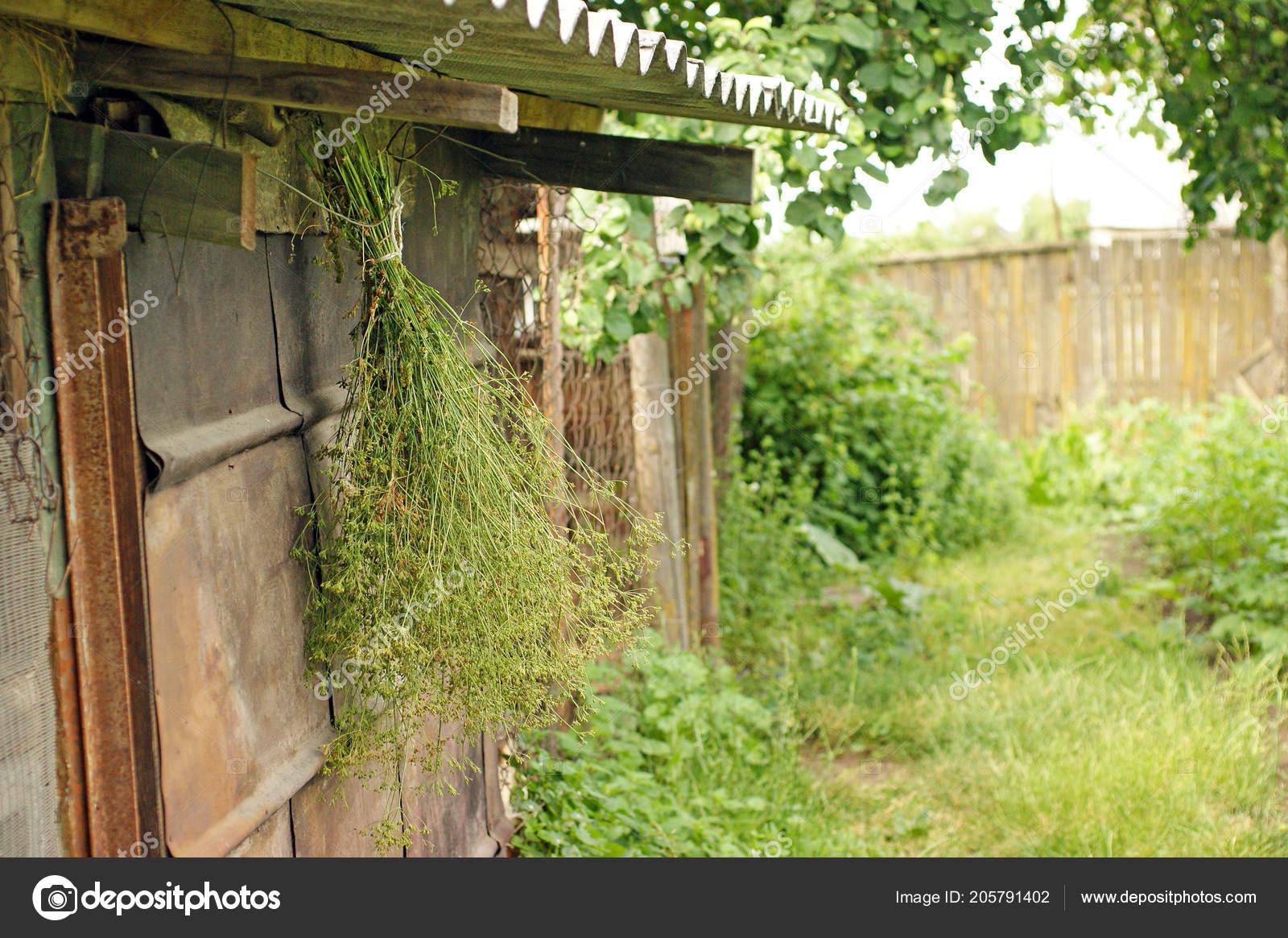 Manojo Hierbas Planta Secado Colgando Bajo Techo Del Granero Rustico