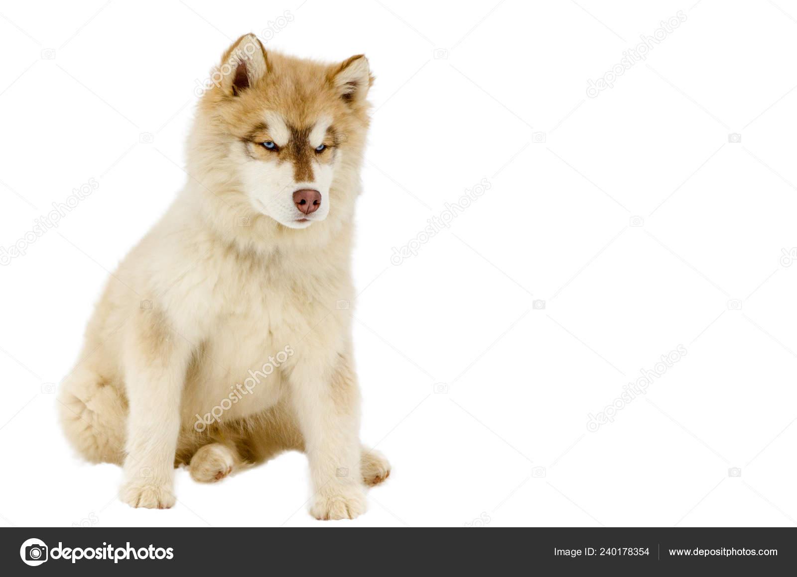 One Puppy Siberian Husky Dog Blue Eyes Looks Husky Breed