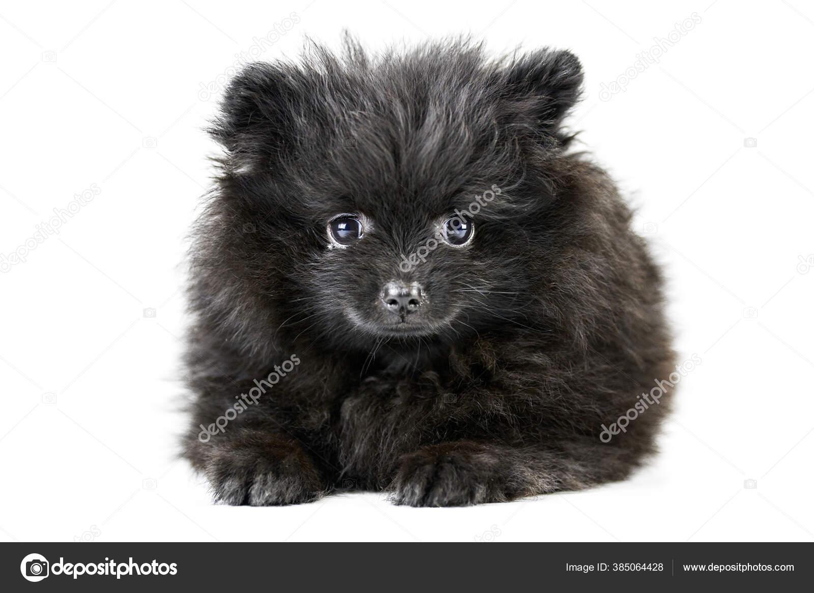 Pomeranian Puppy Spitz Isolated Cute Black Pomeranian White Background Family Stock Photo C Travelarium 385064428