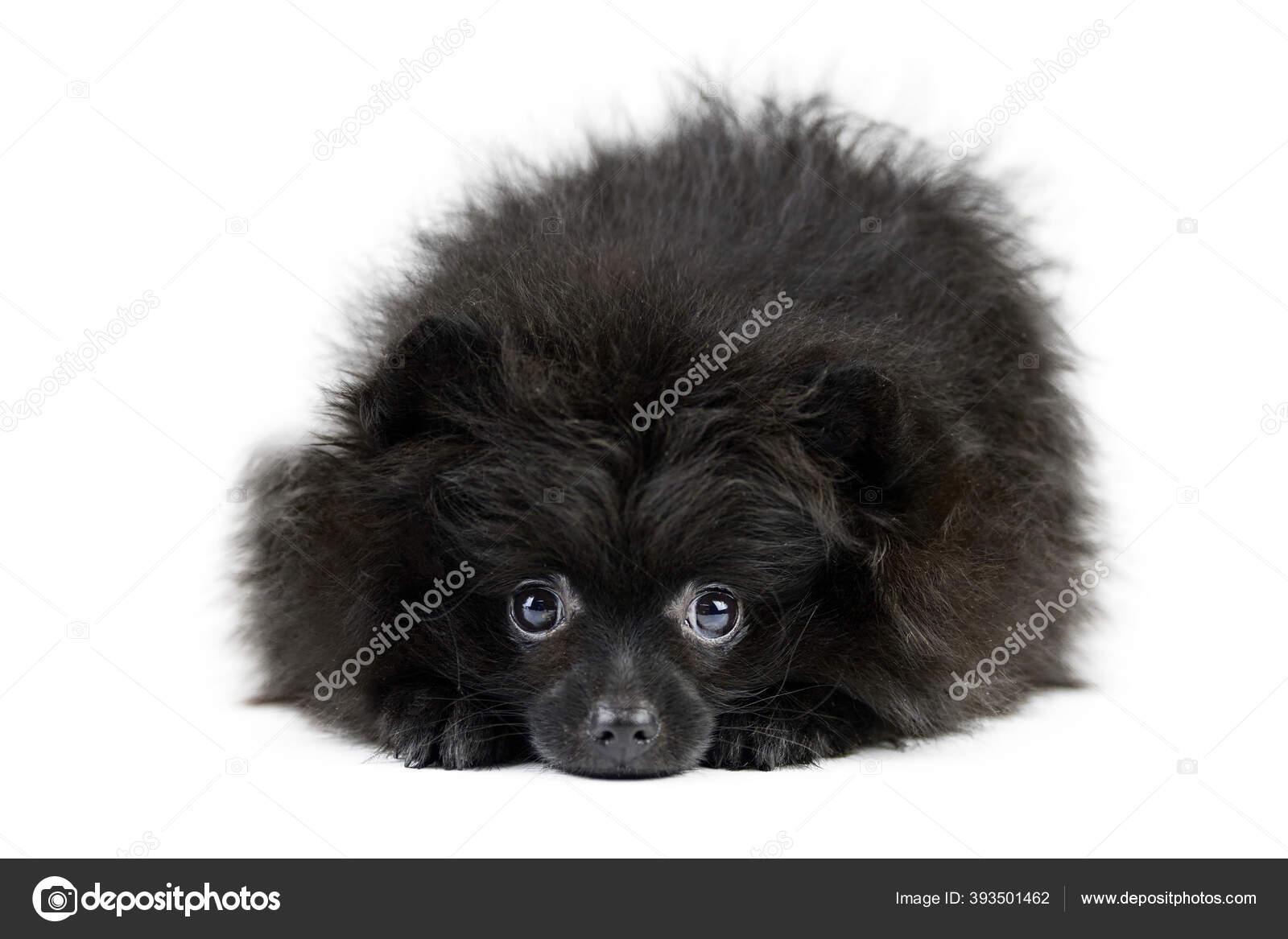 Black Pomeranian Puppy Spitz Isolated Cute Pomeranian White Background Family Stock Photo C Travelarium 393501462