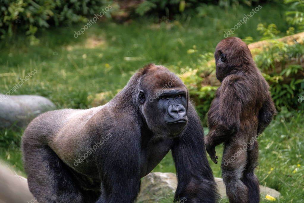 The big silverback gorilla explains his little step brother the facts of life.