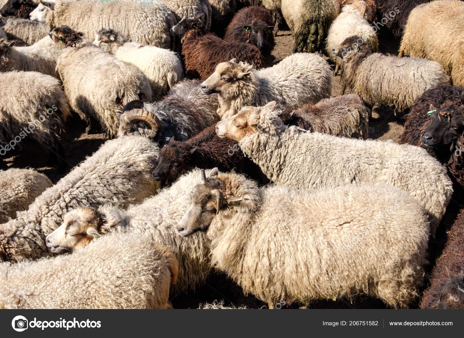 Sheep Farm Texel Netherlands ...