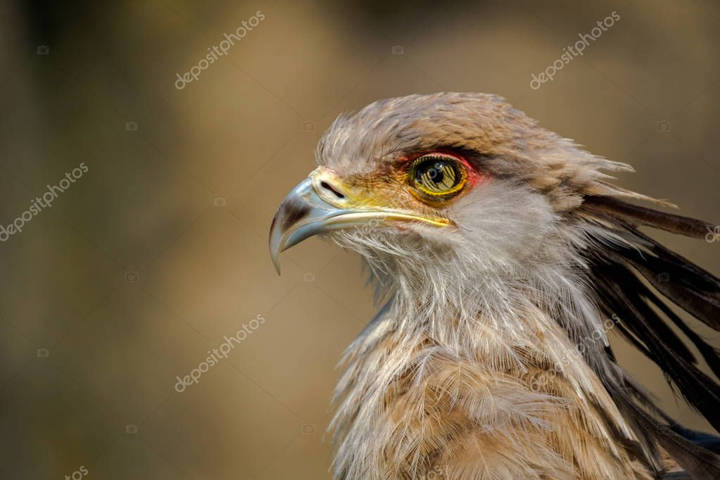Profile portrait of a secretary bird. Head around the eyes and beak is nicely colored.