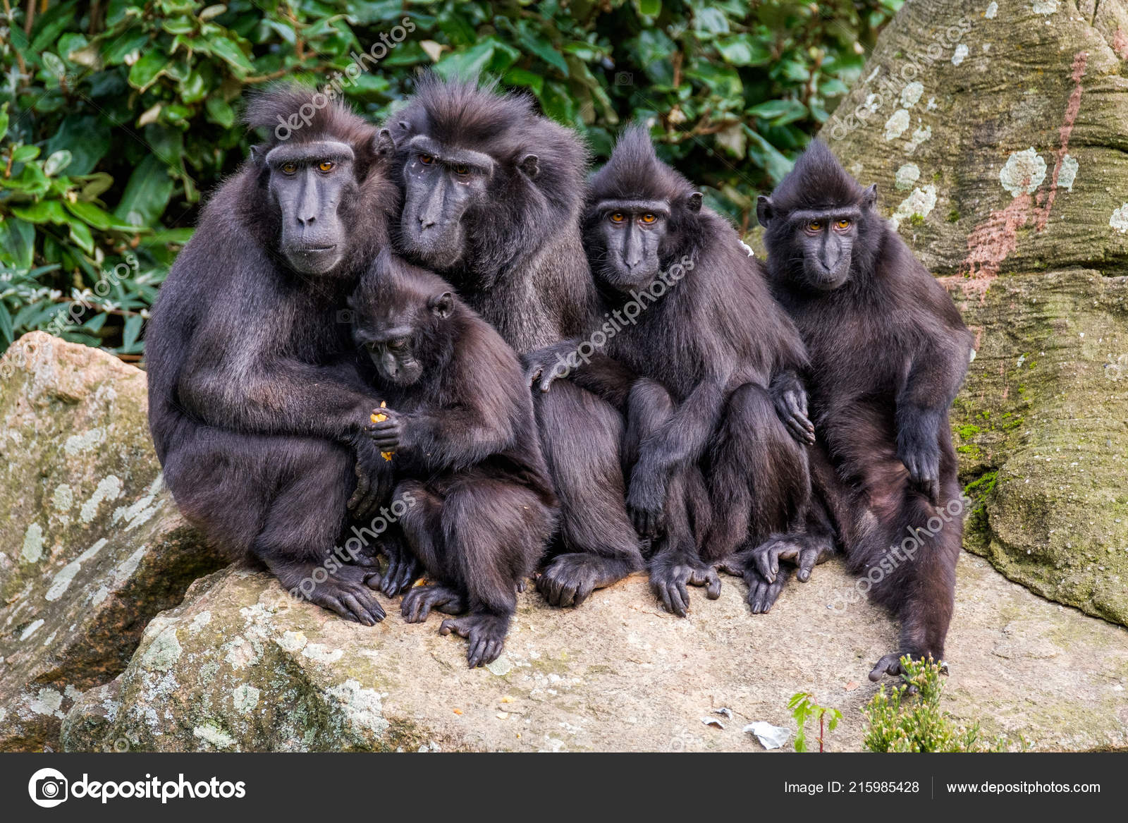 Images et smileys...en joutes - Page 3 Depositphotos_215985428-stock-photo-family-portrait-crested-macaque-monkeys