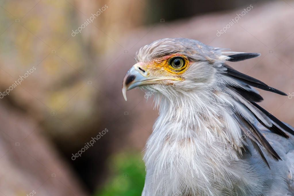 Portrait of a secretary bird, the bird looks straight into the camera. Head around the eyes and beak is nicely colored.