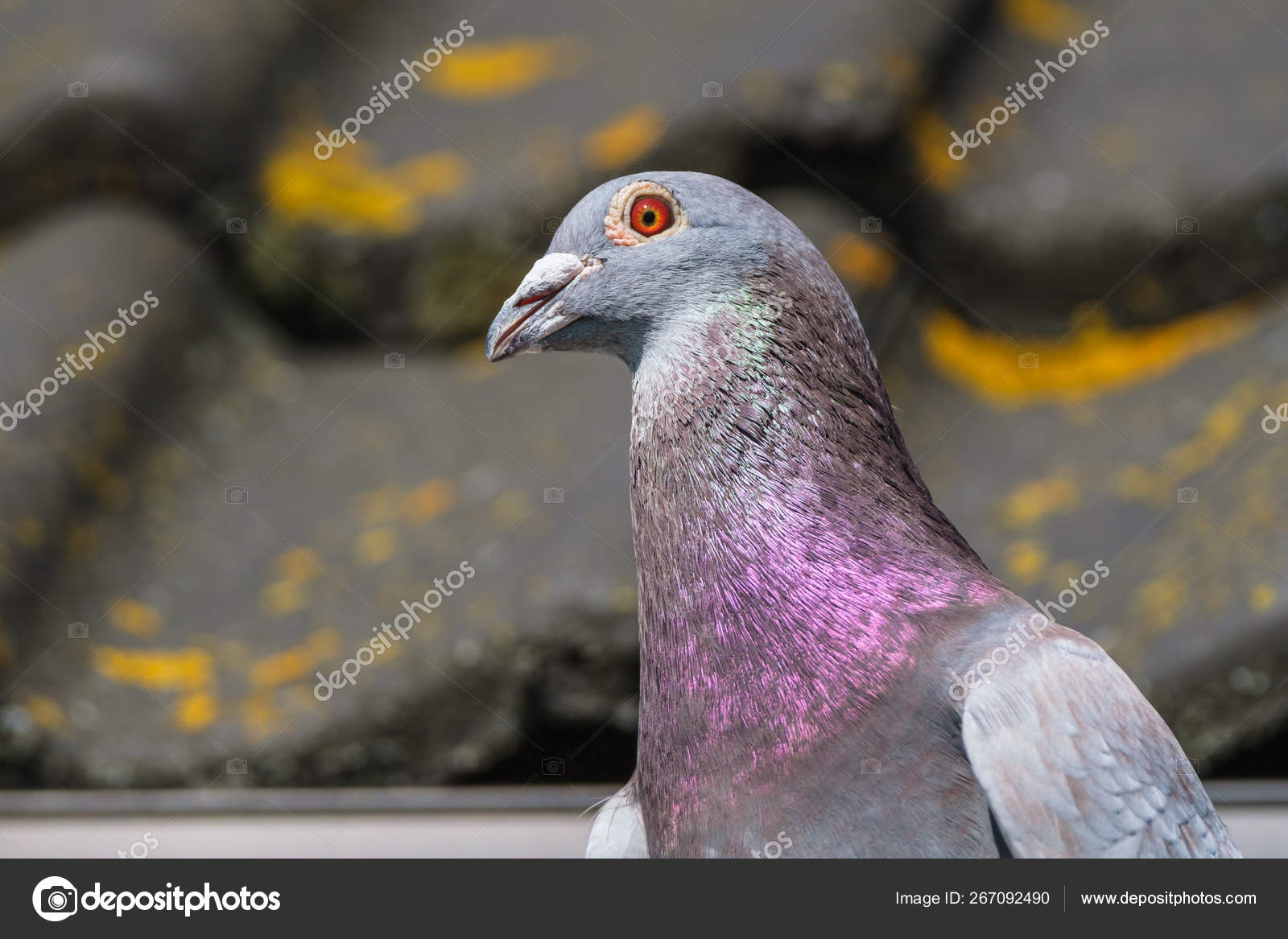 Nice racing pigeon in front of the roof of the pigeon loft