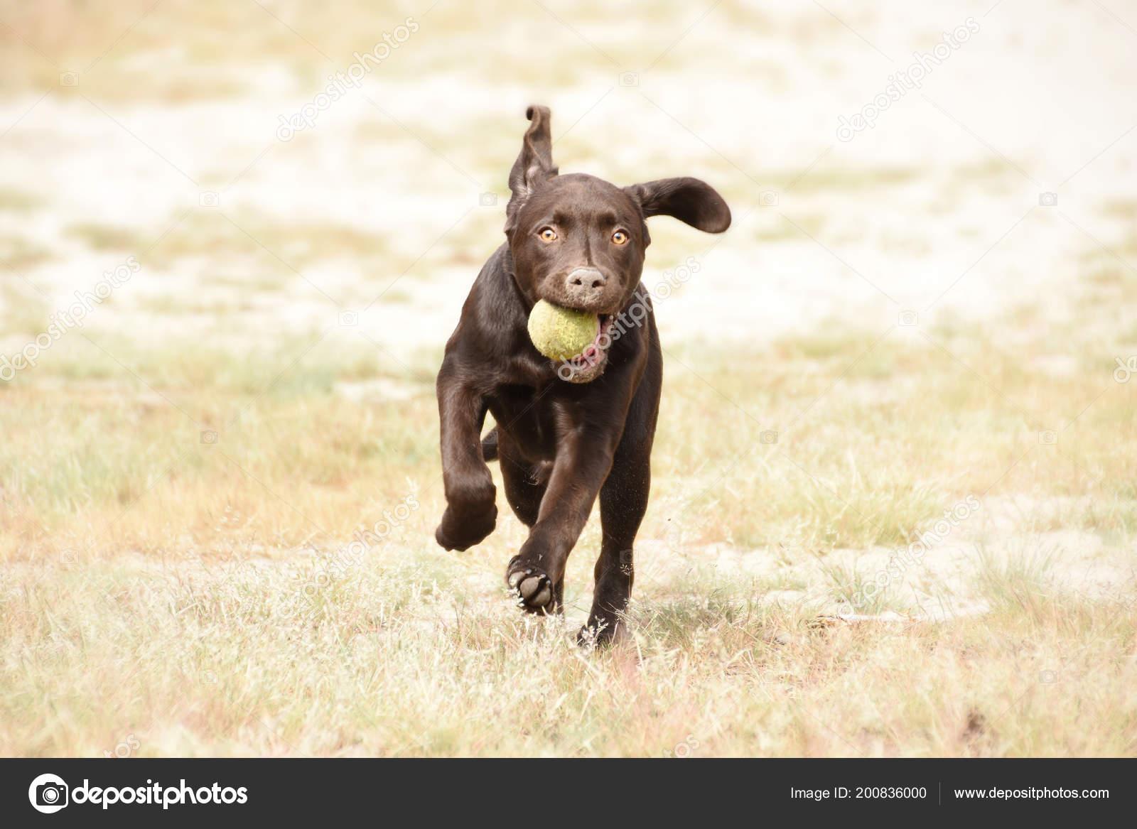 Cute Brown Labrador Puppy Dog Running Ball His Mouth Green Stock