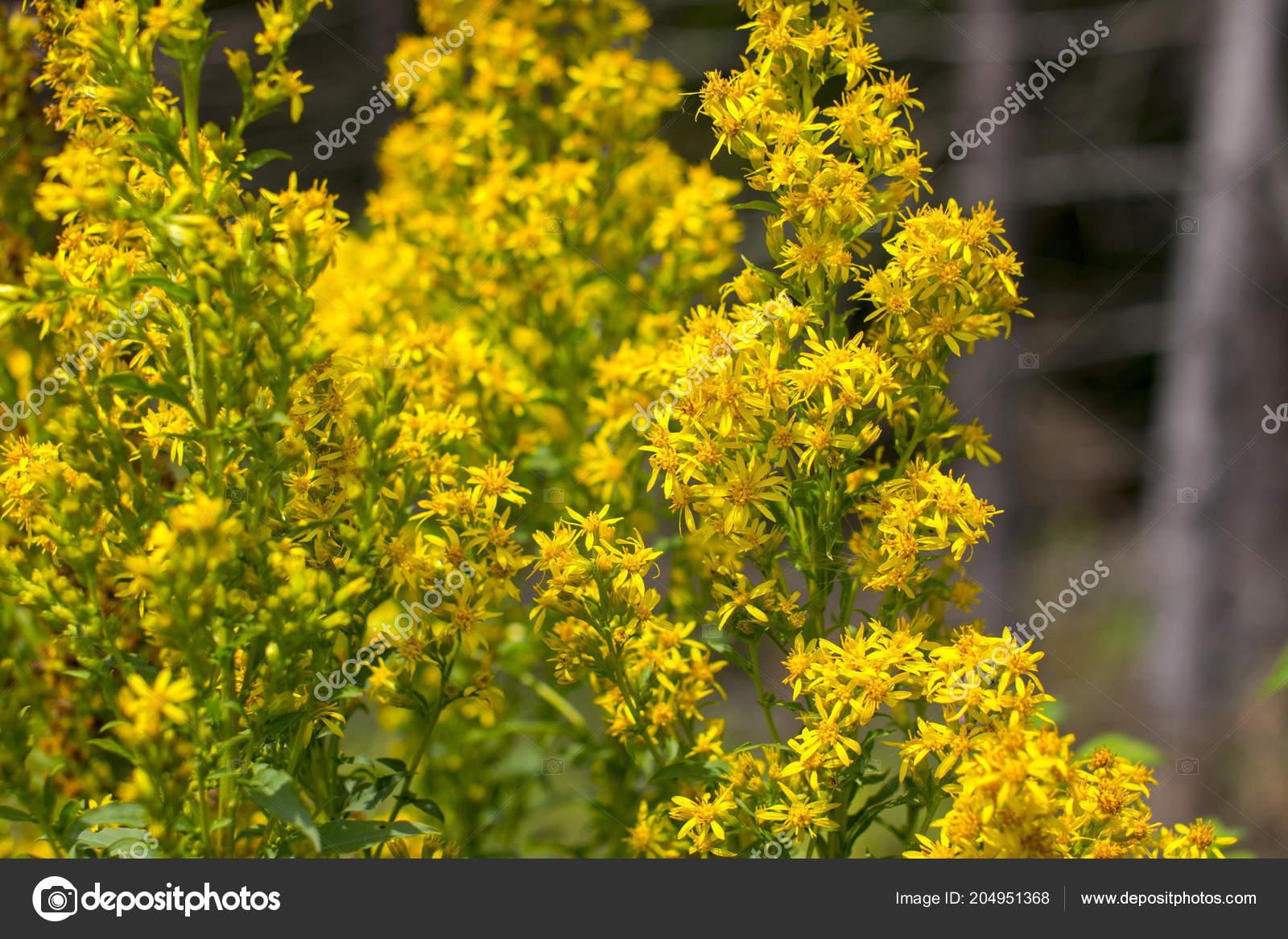 John Wort Yellow Healing Flower Medicinal Healing Herbs Hypericum