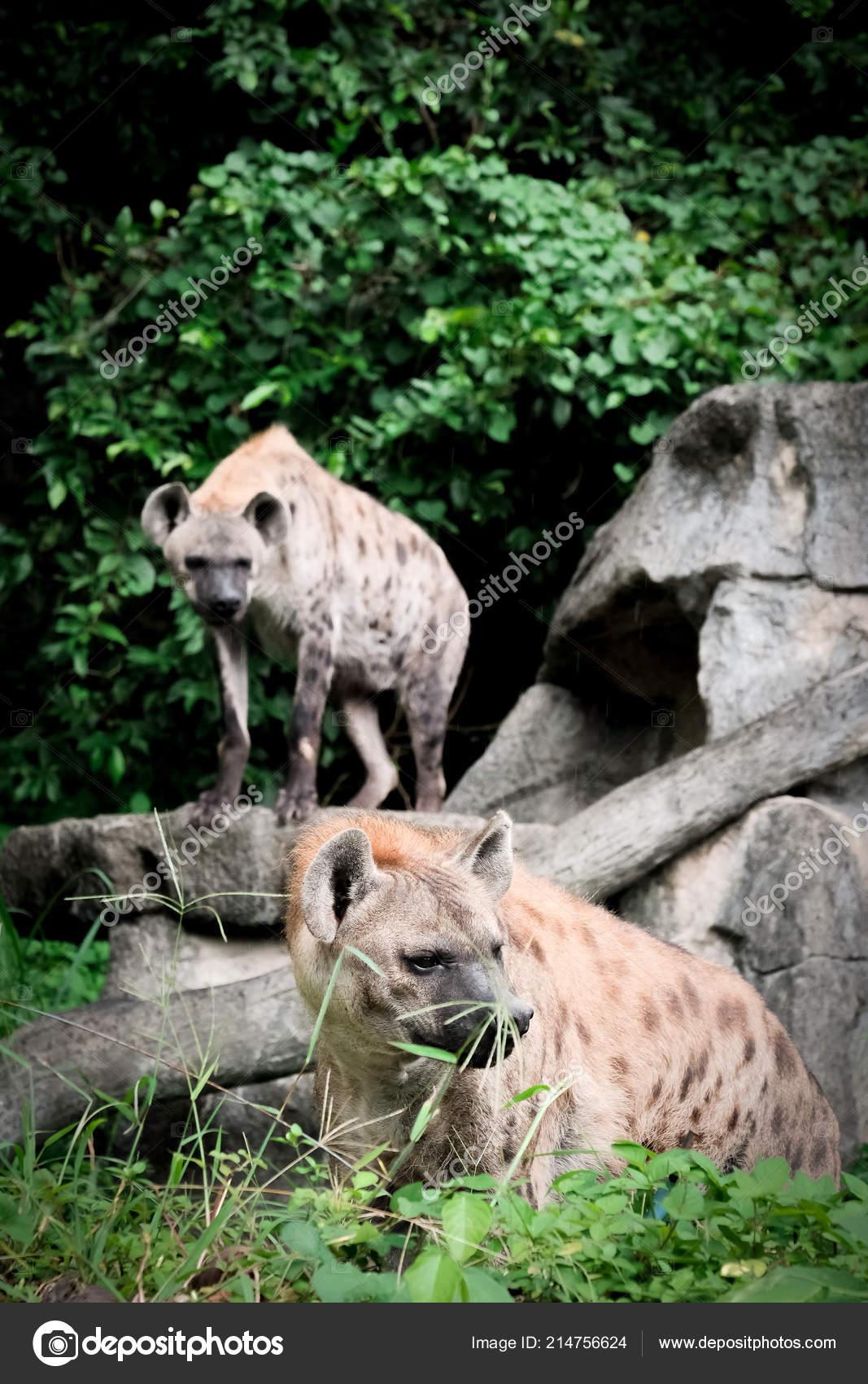 Животный мир гиена зоопарк таиланде — стоковое фото © k_fah #214756624.