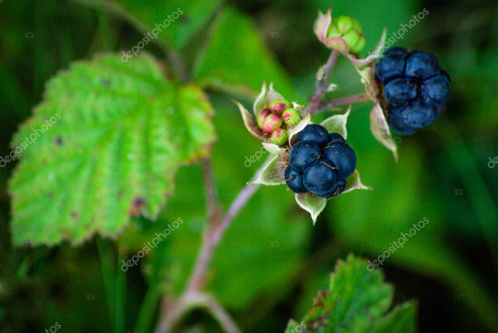 European dewberry (Rubus caesius) are little treats for the birds. Berries, nuts and fruits are abundant in the dunes - a great supply of food for birds and other little animals. Dune vegetation - berries, nuts and fruits. Egmond aan zee, North Holla
