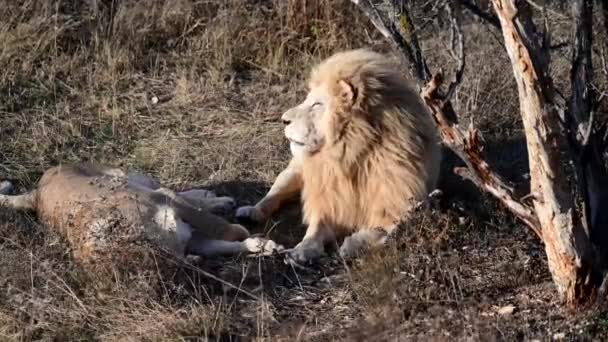 White lion in Lions pride in African savannah on sunset