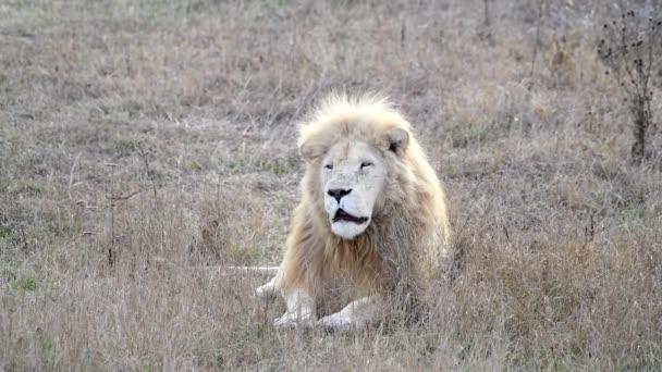 Fehér oroszlán az oroszlánokban büszke afrikai szavannára