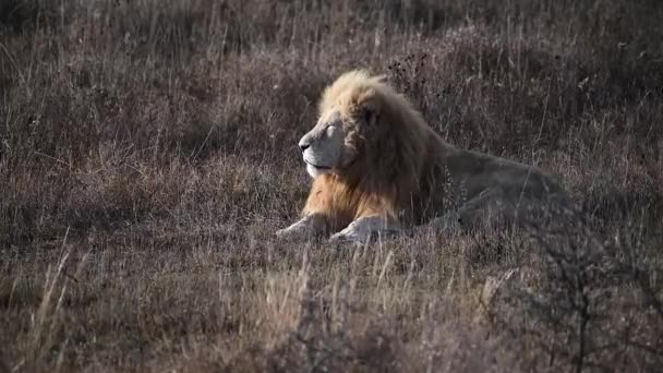 Pair of two White lion in Lions pride in African savannah