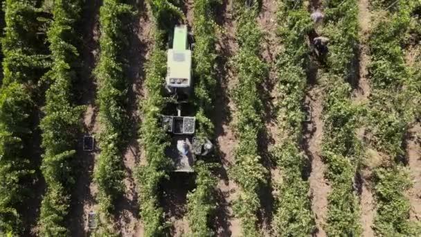 Venkovské farmy, viniční hrozny, letecký pohled na sklizeň hroznů s traktorem