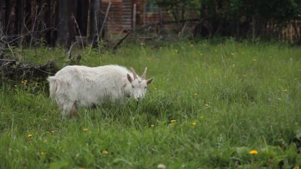 bílá koza jí trávu