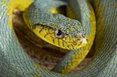 Fényképek A hamis palmviper (Xenodon werneri) egy ritka palm viper mimicking kígyó faj található Észak Dél-Amerika